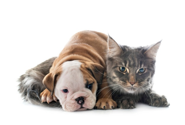 puppy-english-bulldog-cat-front-white-background_87557-16782